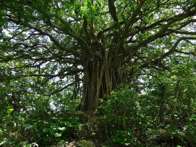 手久津久集落のガジュマル巨木